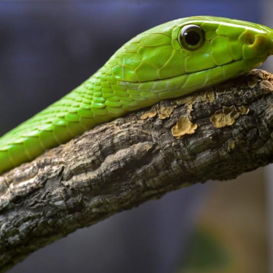 Green mamba at Planet Exotica