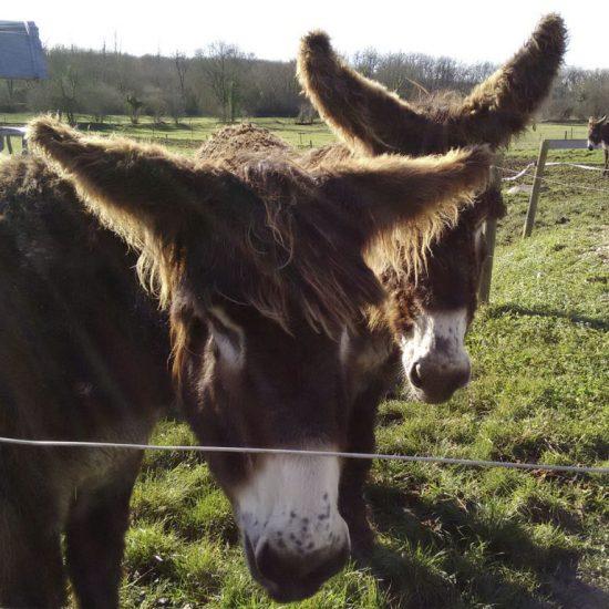 Donkeys at L'Asinerie du Baudet du Poitou